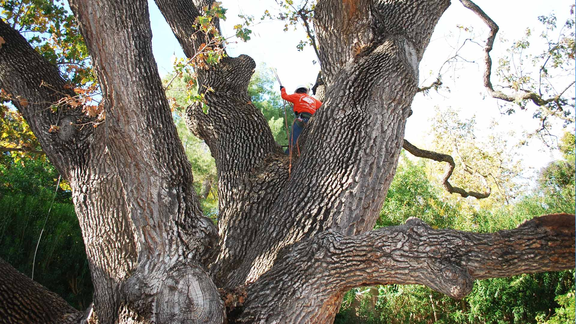 Tree-Pruning-Ventura-County-By-Gold-Coast-Tree-Service-1920×1080