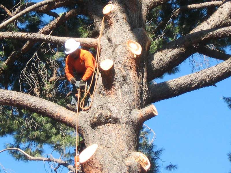 Tree Punning Ventura County By Gold Coast Tree Service