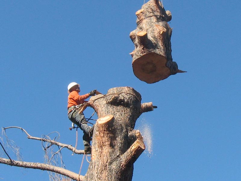 Tree Removal Ventura County By Gold Coast Tree Service